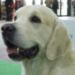 """Caliber from Strawberry Goldens """"Colin"""" CAC"""