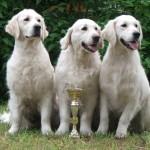 Floyd, Daisy és Gwen (Colin - Daisy alom, Reedy Gold kennel)
