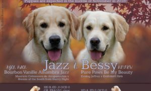 Jazz & Bessy golden retriever kölyök