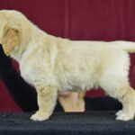 6.5 weeks old white female- Kacie from Reedy Gold