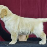 6.5 weeks old red female - Katey from Reedy Gold