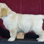 6.5 weeks old beige female - Karen from Reedy Gold