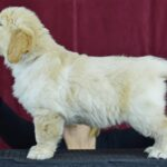 6.5 weeks blue male- Keith from Reedy Gold