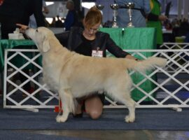 "Caliber from Strawberry Goldens ""COLIN"""